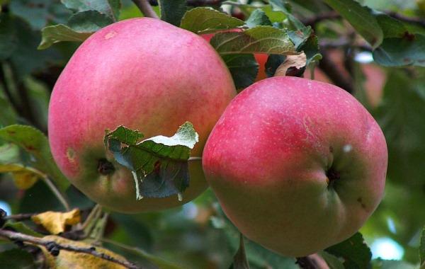 Яблоки апорт