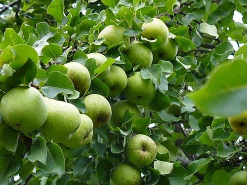 Зеленые плоды Москвички на кусте