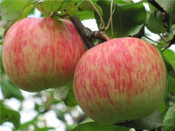 Плоды яблони Бельфлер китайка обладают крупными размерами