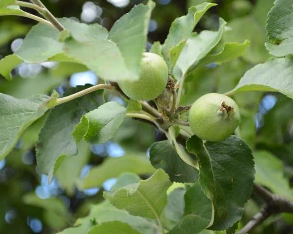 Недозрелые яблоки содержат витамины, микроэлементы, являются источником легкоусвояемого железа