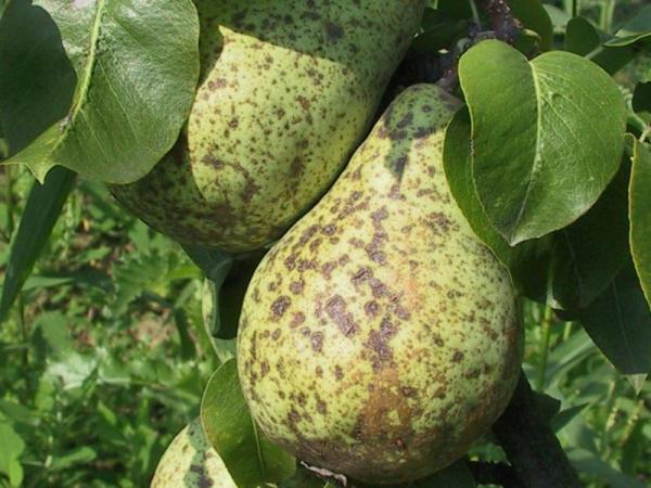 Причиной гниения груши прямо на дереве является грибковое заболевание - плодовая гниль