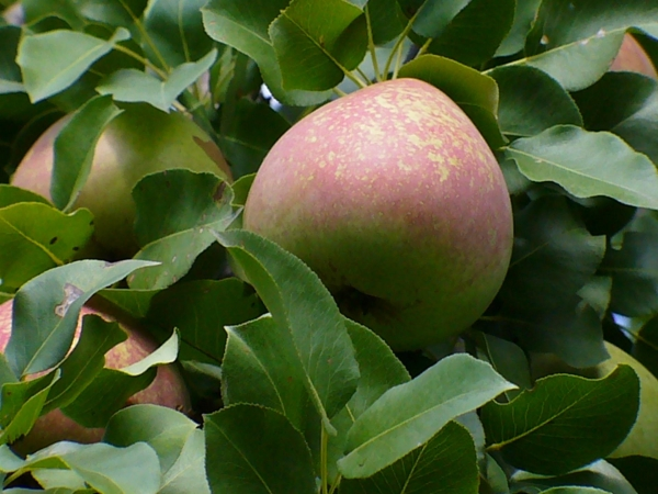 Особенностями сорта Мраморная является десертный вкус, ее рекомендуют диетологи