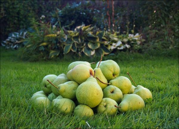 Груши сорта Августовская роса скороспелые, на вкус кисловато-сладкие, с нежной мякотью
