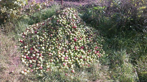 Собранные в кучу опавшие яблоки