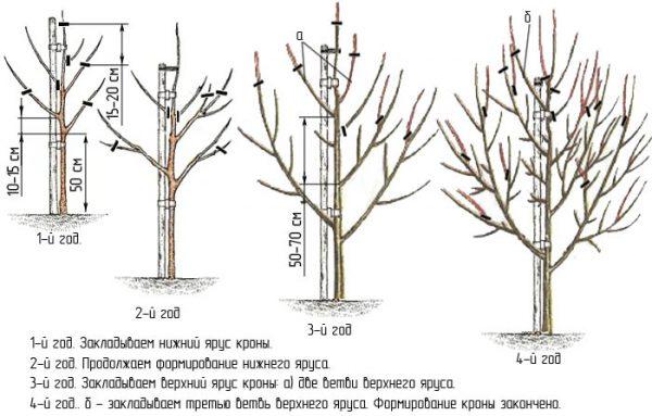 Схема обрезки груши в первые четыре года