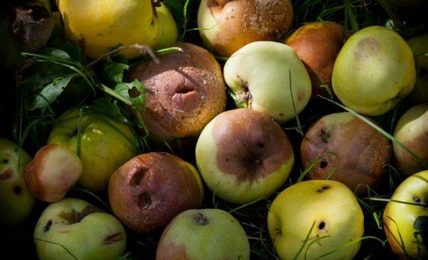 Подгнившие яблоки на компост