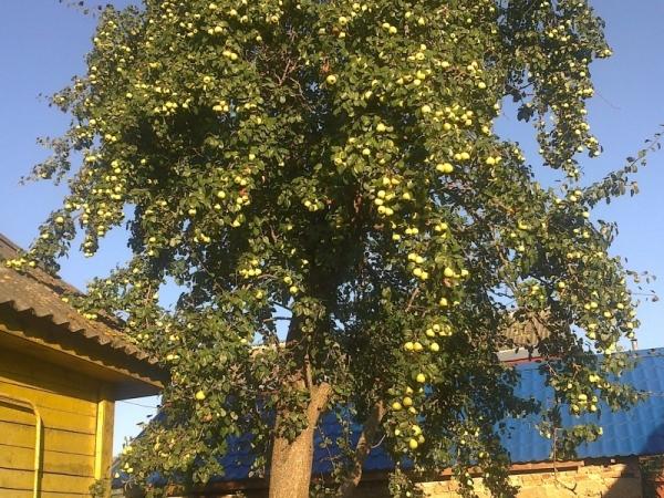 Груша плодоносит в среднем от 10 до 50 лет, есть сорта, которые дают плоды до 100 лет