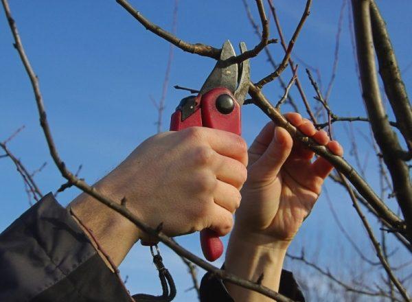 Схема и особенности обрезки грушевого дерева весной, осенью, зимой и летом