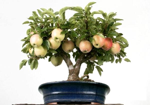 Как вырастить яблоню из семечек в домашних условиях