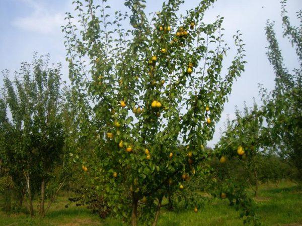 Плодоносящее грушевое дерево Лада