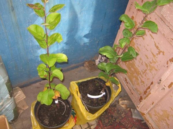Молодой саженец яблони нуждается в еженедельном поливе, в подкормке удобрениями