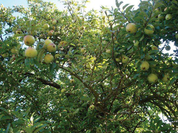 Обильный урожай приводит к обвисанию веток