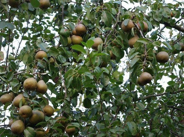 Дерево Просто Мария со средней урожайностью