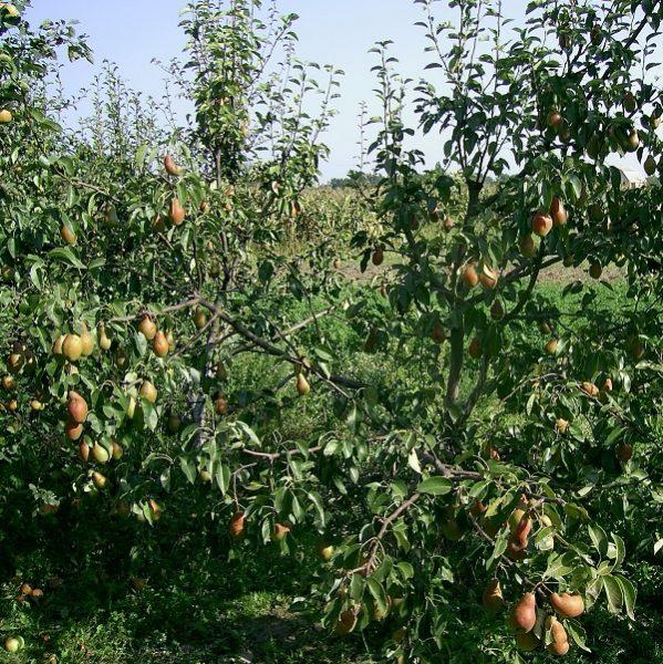 Спелые груши сорта Талгарская красавица, готовые к сбору