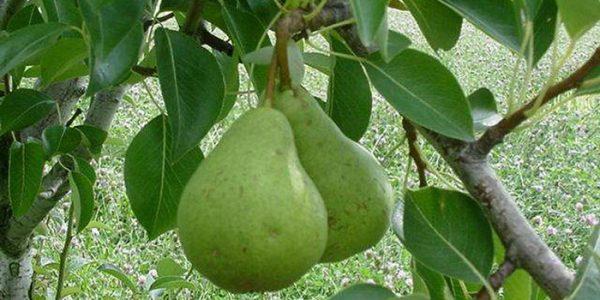 Зеленые плоды Вильямса в середине лета