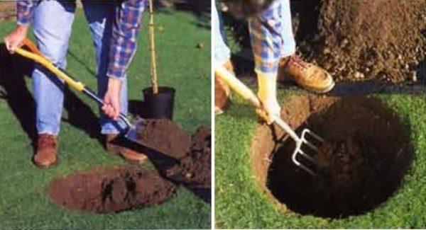 Подготовка ямы для высадки яблони