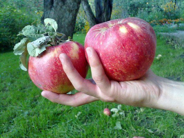 Крупные плоды яблок сорта Апорт
