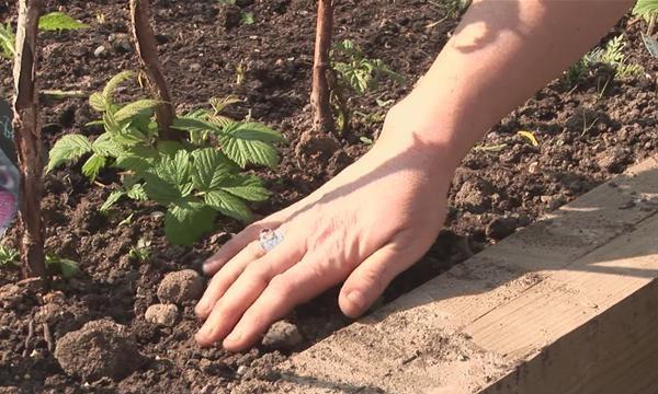 После посадки малину необходимо обрезать, полить, замульчировать почву