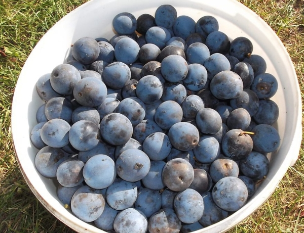 Плоды терна очень полезны для здоровья и содержат массу витаминов и микроэлементов