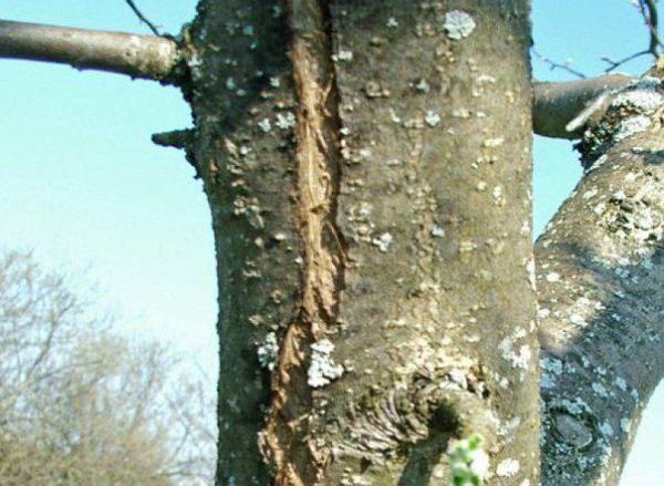 Морозобоины на стволе дерева