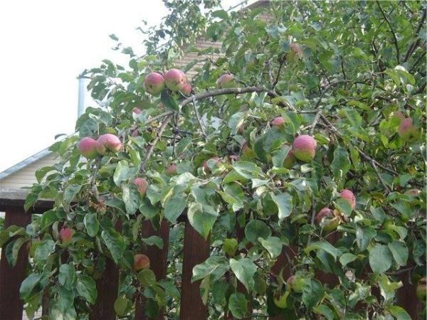 Яблоня Боровинка высокая и вырастает до 4.5 м