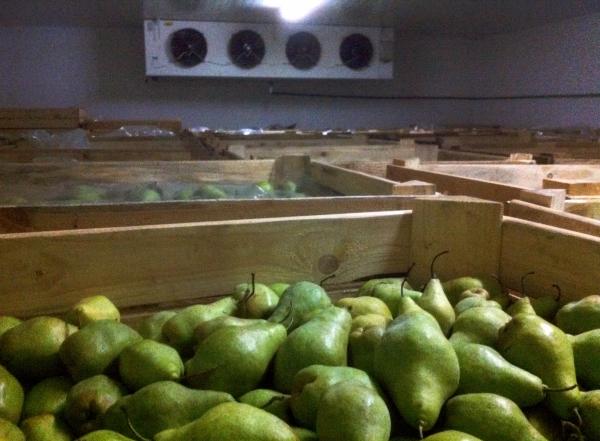 Сохранить груши на зиму можно в холодильнике, на балконе, в погребе или подвале