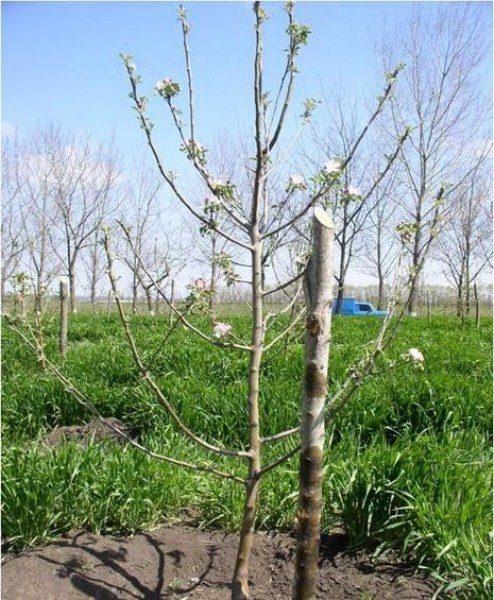 Веретенообразная форма яблони