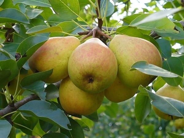 Сорт груш Любимица Клаппа: описание сорта, отзывы садоводов