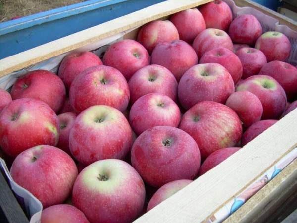 Яблоки следует хранить в деревянных ящиках в прохладном месте