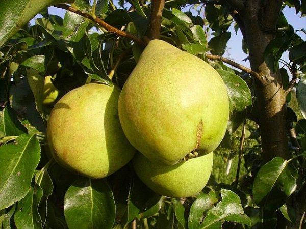 Спелые и сочные плоды груши Просто Мария, созревшие в сентябре