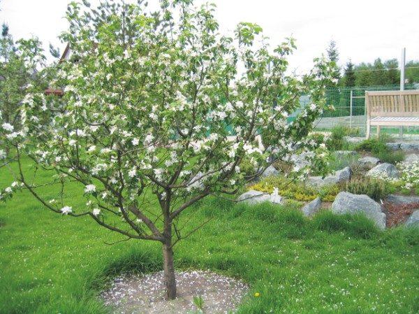 Ярусно-разреженная форма яблонь