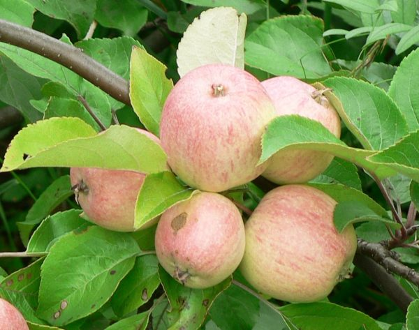 Уход за яблоками и профилактика заболеваний