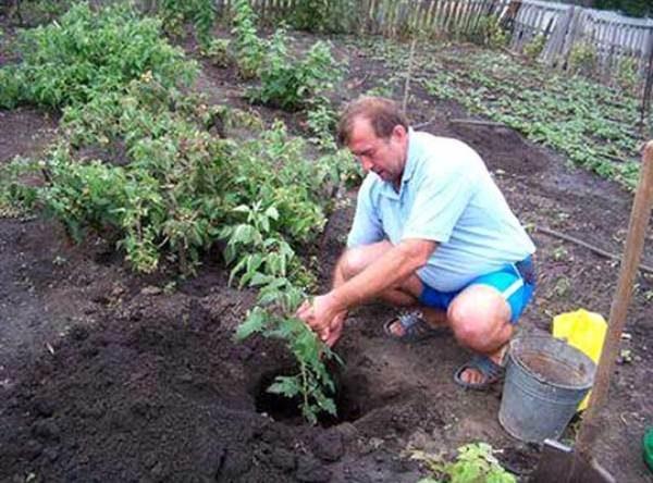 Посадка малины может быть произведена в ямы или траншеи