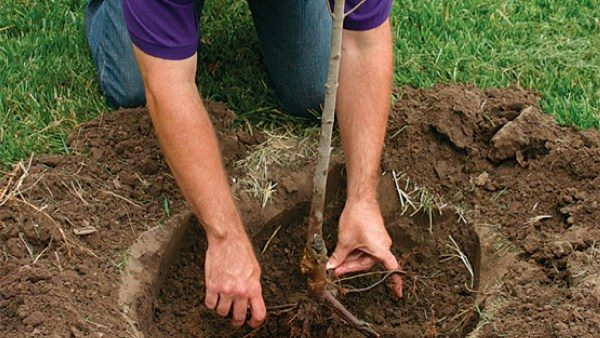 Необходимая площадь для развития грушевого дерева — 4х4 м