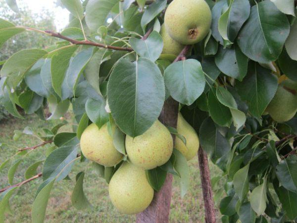 Дерево с плодами груши Найт Верт