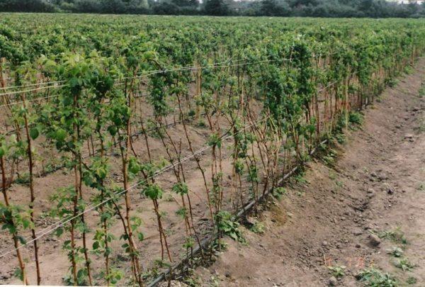 Кусты малины рекомендуется подвязывать, чтобы избежать прогибания