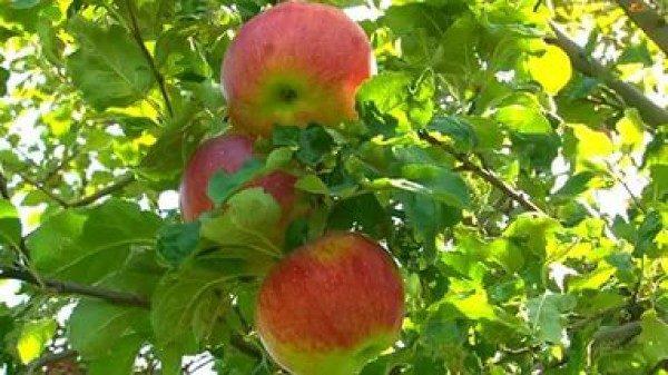 Яблоки апорт фото