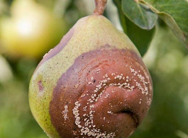 Почему гниют груши на дереве: выясняем причину и устраняем ее