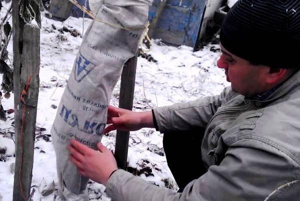 Обертывание ствола груши спасёт дерево от зимних морозов
