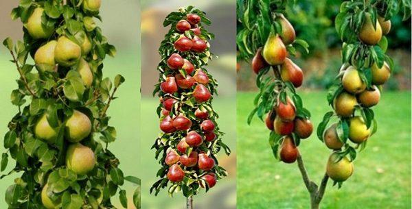 Разнообразие колоновидных груш