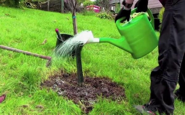 Слива сорта Конфетная нуждается в поливе 5 раз за весь сезон, не требует частых подкормок