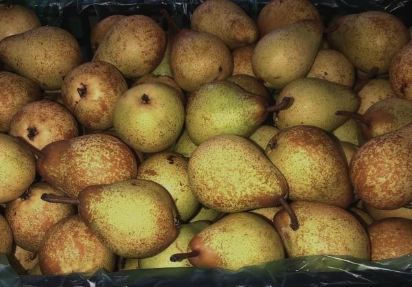 Неспелые плоды груши нужно завернуть в полиэтиленовые пакеты, сделать небольшие отверстия для поступления воздуха