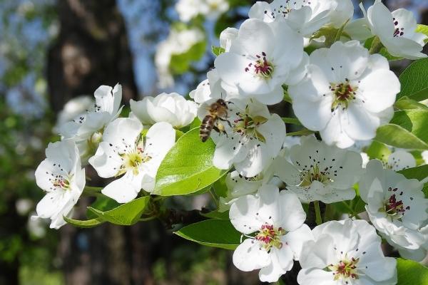 Чтобы груша цвела и плодоносила, ей необходим полив, рыхление и удобрение почвы