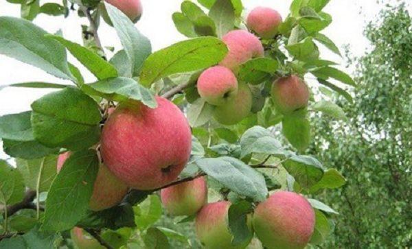 Яблоки грушовка