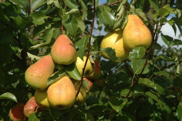 Плоды сорта Северянка маленькие, сладкие, сочные