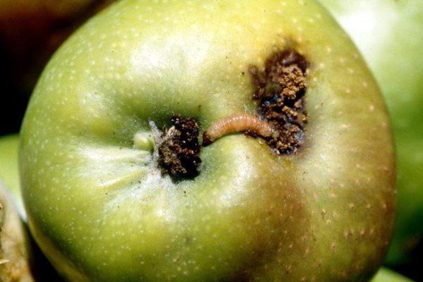 Опадание изъеденных червями яблок