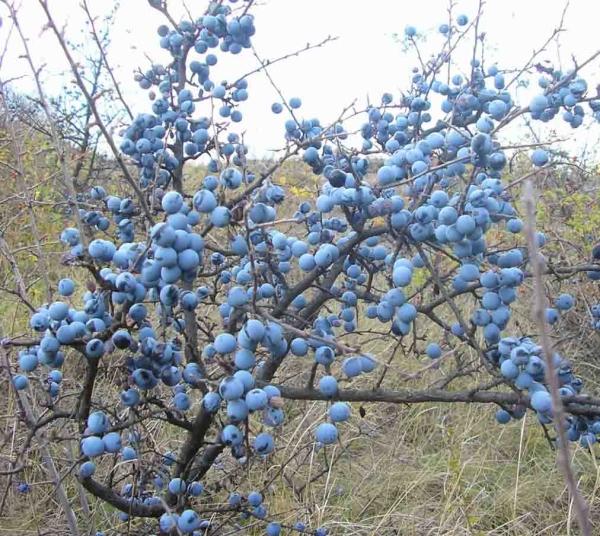 Плоды терна собирают в конце октября, используют для приготовления настоев и отваров