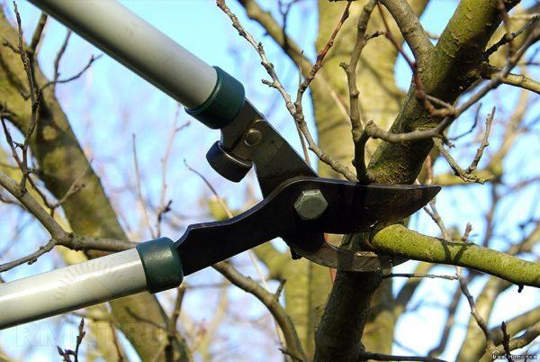 Как подрезать яблони и когда это делать