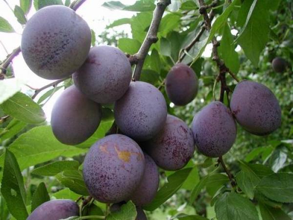 Слива Машенька - крупные плоды, морозостойкая, неприхотлива к составу почвы