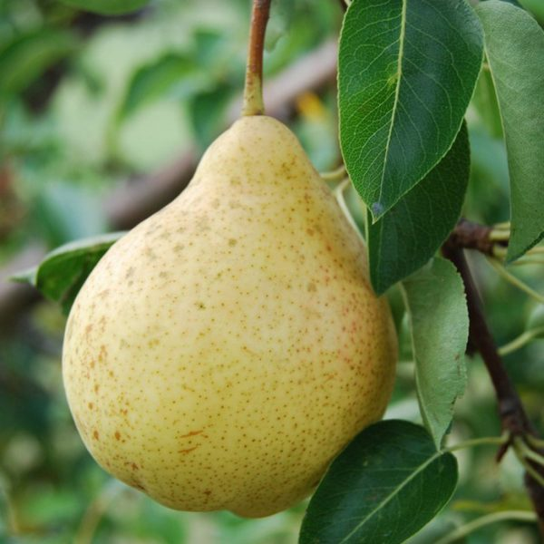 Плод груши сорта Москвичка